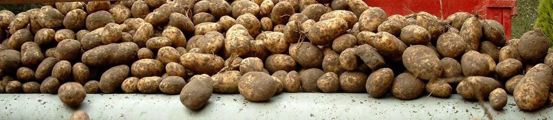 In onze winkel verkopen we onze eigen geteelde aardappelen